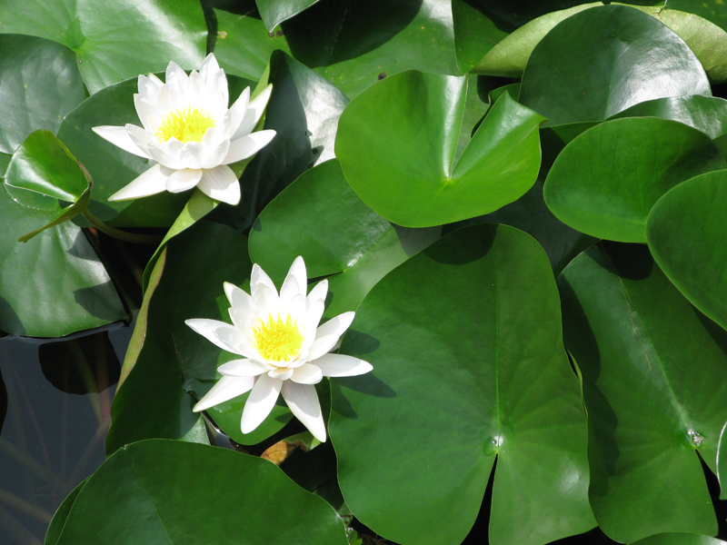 Nénuphars en fleurs